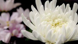 白い菊の花
