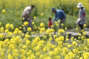 菜の花と家族