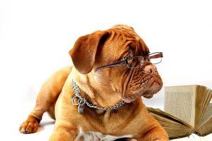 眼鏡をかけた茶色の老犬